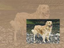 Golden Retriever Dog Wallpapers